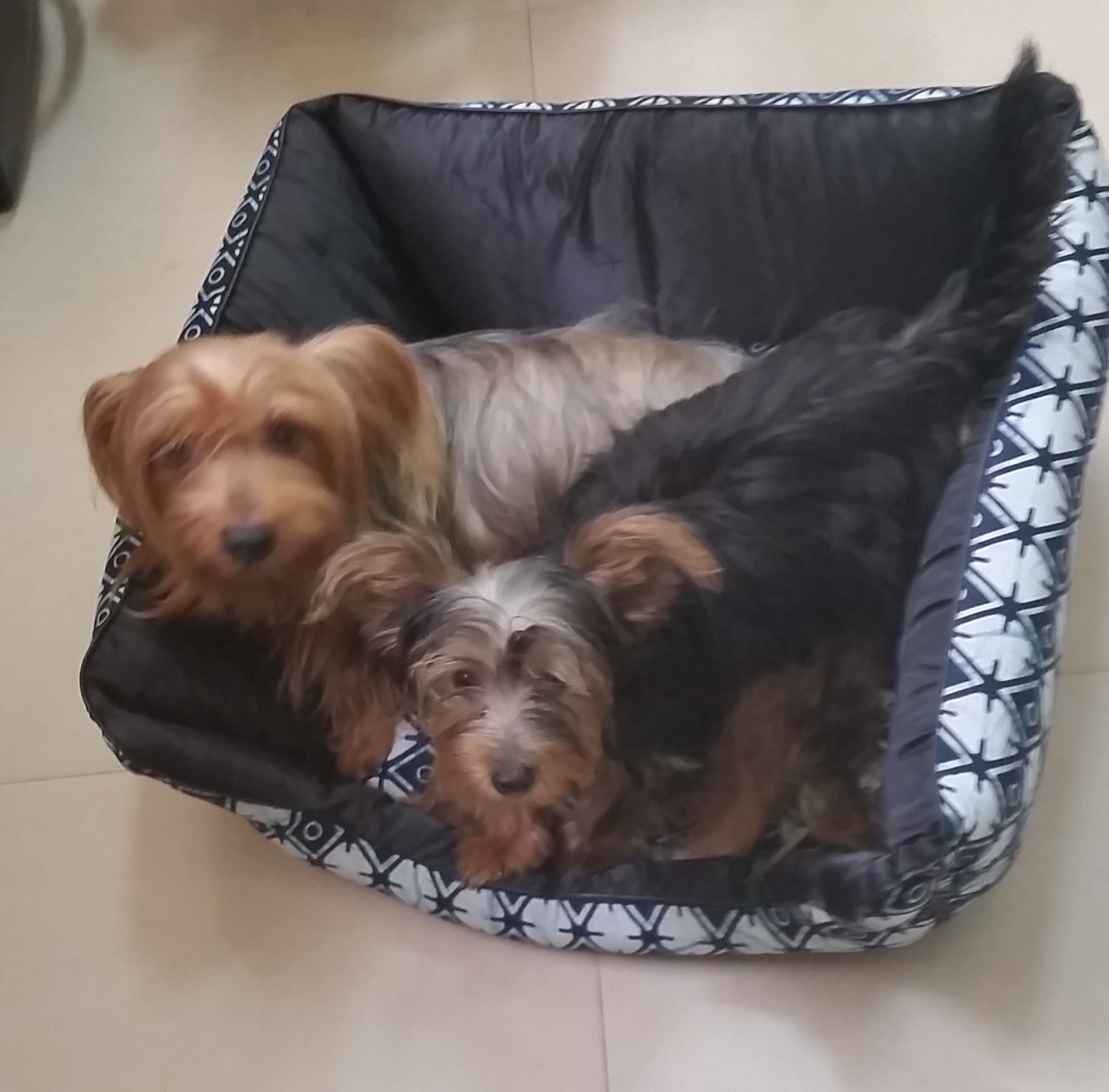 Yorkie at My Pet Place